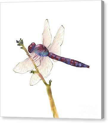 Burgundy Dragonfly  Canvas Print