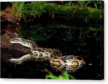 Burmese Python, Python Molurus Canvas Print
