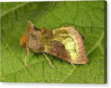 Burnished Brass Moth Canvas Print by Nigel Downer