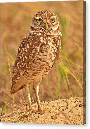 Burrowing Owl Canvas Print by Nancy Landry