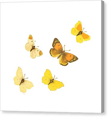 Butterflies Canvas Print by Philip Ralley