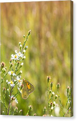 Butterfly In A Field Of Flowers Canvas Print