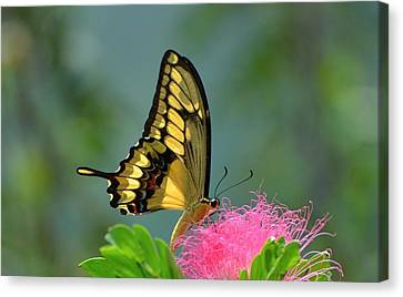 Butterfly Papilio Thoas Nealces Canvas Print by Michael Lilley