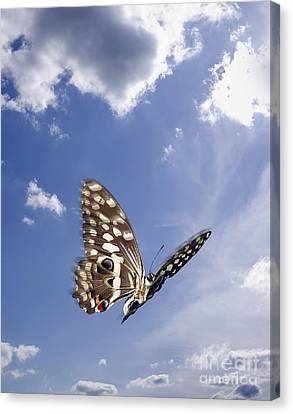 Butterfly Canvas Print by Tony Cordoza