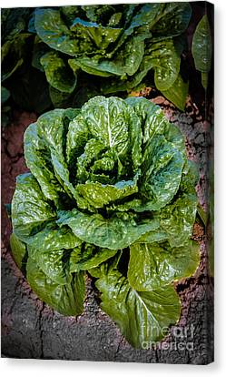 Romaine Canvas Print - Butterhead Lettuce by Robert Bales