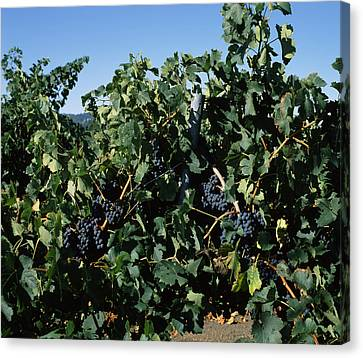 Winemaking Canvas Print - Cabernet Sauvignon Grapes In Vineyard by Panoramic Images