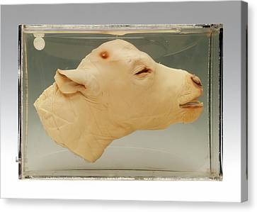 Calf Head Canvas Print by Ucl, Grant Museum Of Zoology