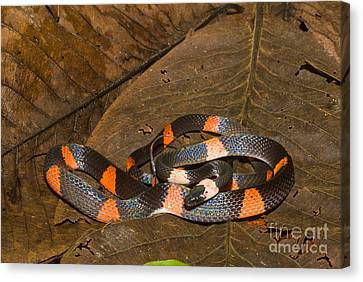 Calico Snake Canvas Print by William H. Mullins