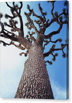 California, Joshua Tree National Park Canvas Print