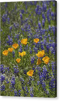 Canvas Print featuring the photograph California Poppies And Lupine by Sherri Meyer