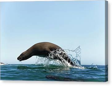California Sea Lion Canvas Print by Christopher Swann