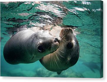 California Sea Lions In Shallow Water Canvas Print by Christopher Swann
