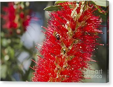 Callistemon Citrinus - Crimson Bottlebrush Canvas Print by Sharon Mau