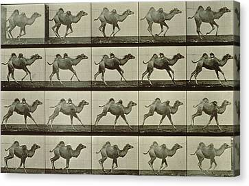 Camel Canvas Print - Camel by Eadweard Muybridge