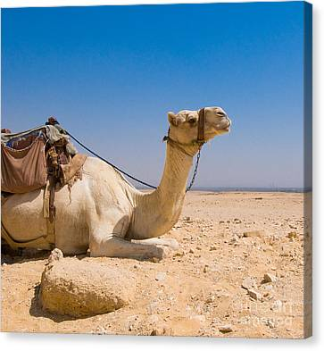 Camel Canvas Print - Camel In Desert by Konstantin Kalishko