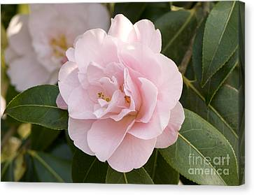 Camellia X Williamsii Charles Puddle Canvas Print by Adrian Thomas