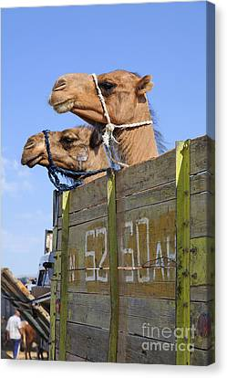 Camels At The Ashgabat Sunday Market In Turkmenistan Canvas Print by Robert Preston