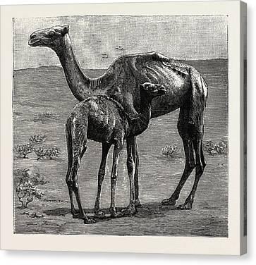 Sudan Red Canvas Print - Camels From El-teb, Soudan Sudan by African School