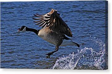 Canada Goose Taking Flight Canvas Print by Sue Harper