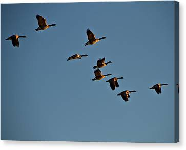 Canadian Geese Canvas Print by Dan Sproul