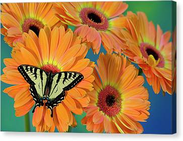 Tiger Swallowtail Canvas Print - Canadian Tiger Swallowtail Butterfly by Darrell Gulin