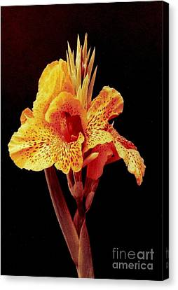 Canna Lilly Canvas Print by Michael Hoard