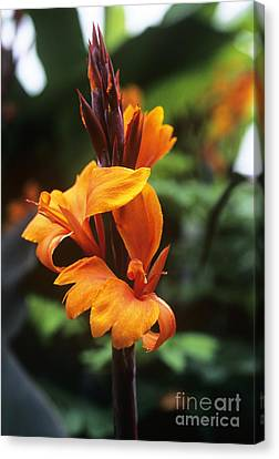 Canna Lily Roi Humbert Canvas Print by Adrian Thomas