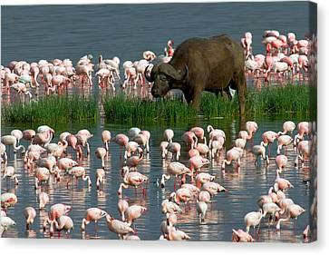 Cape Buffalo And Lesser Flamingos Canvas Print by Panoramic Images