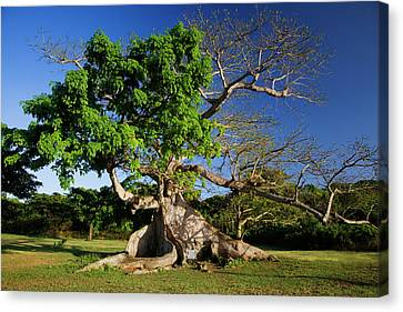 Gnarly Canvas Print - Caribbean, Puerto Rico, Vieques by Jaynes Gallery