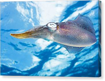 Caribbean, Reef Squid Sepioteuthis Canvas Print