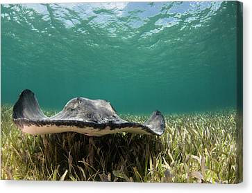 Caribbean Whiptail Ray (himantura Canvas Print by Pete Oxford