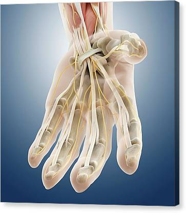 Median Canvas Print - Carpal Tunnel Wrist Anatomy by Springer Medizin