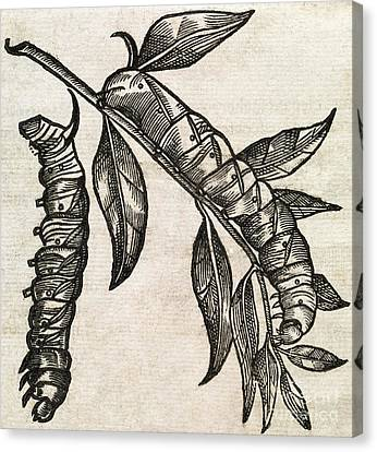 Caterpillars, 17th Century Artwork Canvas Print by Middle Temple Library