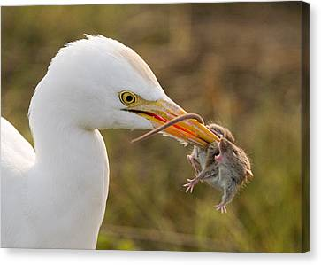 Cattle Egret Canvas Print by Doug Herr