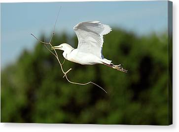 Cattle Egret In Flight Canvas Print by Bob Gibbons