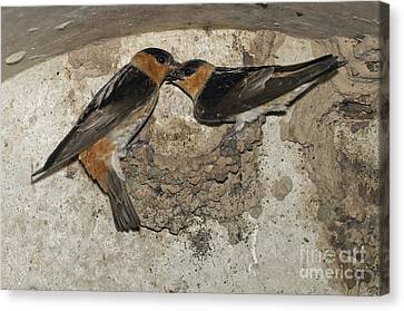 Cave Swallows Canvas Print
