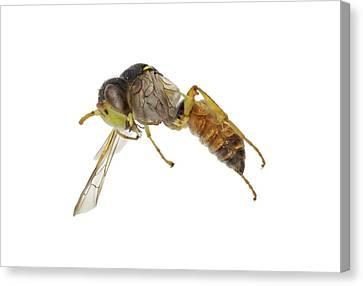 Cerceris Flaviventris Wasp Canvas Print by F. Martinez Clavel