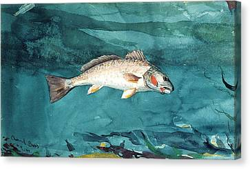 Channel Bass Canvas Print by Celestial Images