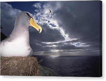 Chatham Albatrosses Nesting On A Cliff Canvas Print by Tui De Roy