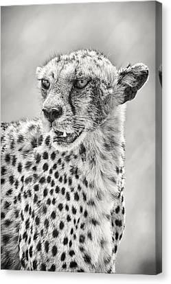 Cheetah Canvas Print by Adam Romanowicz
