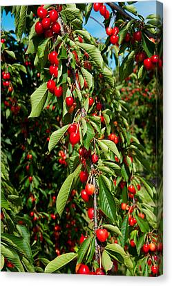 Cherries To Be Harvested, Cucuron Canvas Print by Panoramic Images