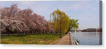 Cherry Blossom Trees In Potomac Park Canvas Print