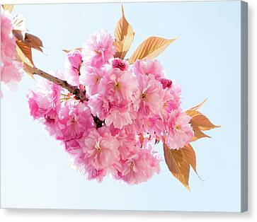Cherry Blossom Canvas Print by Wladimir Bulgar