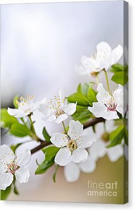 Cherry Blossoms Canvas Print by Elena Elisseeva