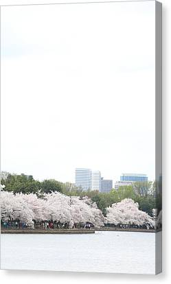 Cherry Blossoms - Washington Dc - 011314 Canvas Print by DC Photographer