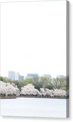 Cherry Blossoms - Washington Dc - 011316 Canvas Print by DC Photographer