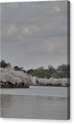 Cherry Blossoms - Washington Dc - 011335 Canvas Print by DC Photographer