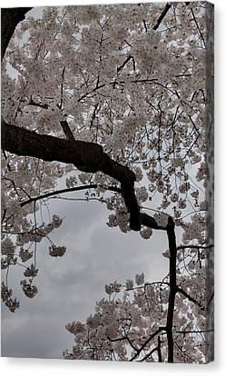 Cherry Blossoms - Washington Dc - 011341 Canvas Print by DC Photographer