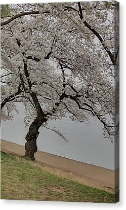 Cherry Blossoms - Washington Dc - 011343 Canvas Print by DC Photographer