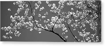 Cherry Blossoms Washington Dc Usa Canvas Print by Panoramic Images